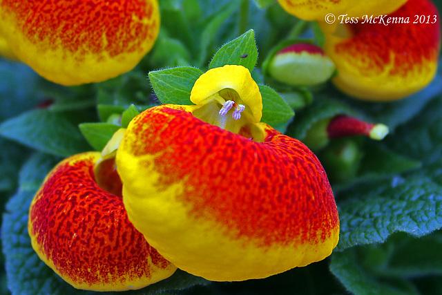 Pocketbook Plant  (Calceolaria herbeohybrida) 026 copy