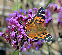 Painted Lady- Vanessa cardui migrant from south europe