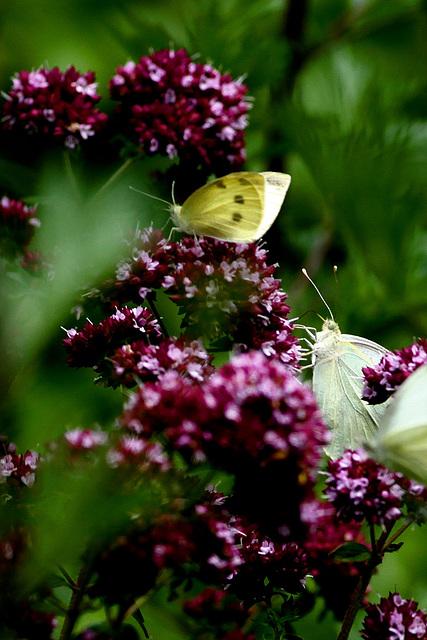 """Papillon """"Le citron"""""""