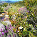 Lavender, cistus and mountain stream .