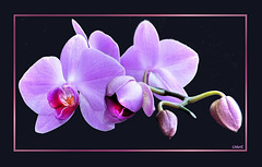 Pink Orchid-3 ©UdoSm