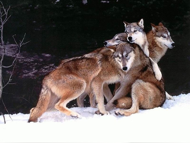 Un gros câlin chez les loups (EXPLORE)
