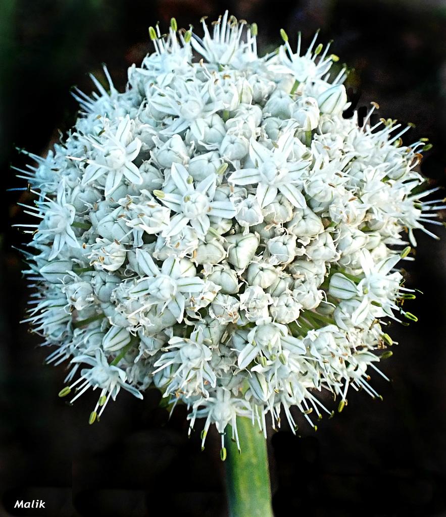 Fleur d'oignon..!