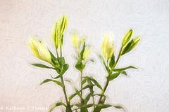 Oriental Lily Buds High Key Topaz Filter 092816-001