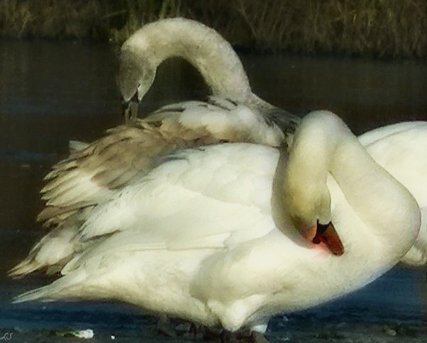 grey and white swans