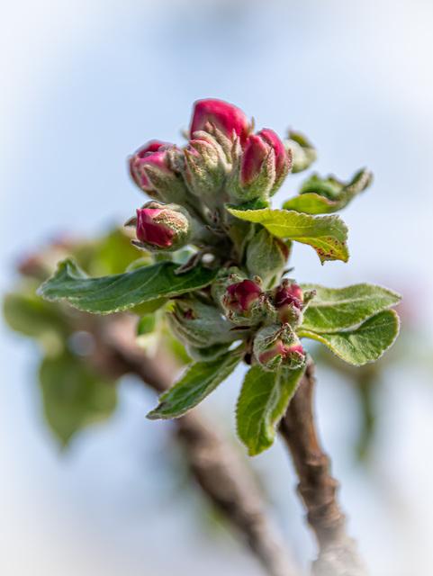 Der Apfelbaum ...