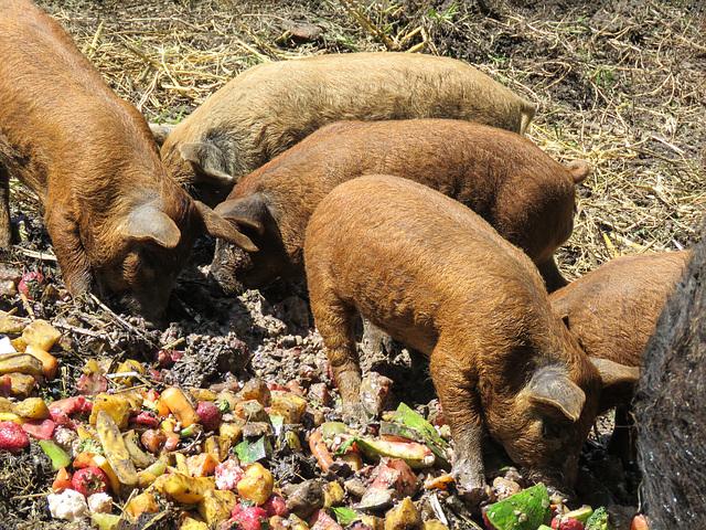 Mangalitsa piglets, about 5 weeks old