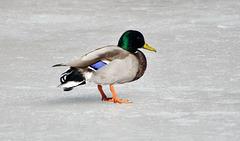 duck on ice DSC 8722