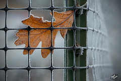 Pictures for Pam, Day 29: HFF! Leaf in Frosty Fence