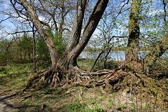 Vom Hochwasser unterspülte Baumwurzeln - Illmensee