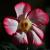 Flo.Fam. : Apocynaceae  & Asclepiadacea , plantes et fleurs de ces familles