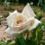 Rosen  die Königin der Blumen