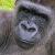 Sich zum Affen machen