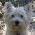 Westies (West Highland White Terrier)