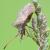 British Bugs (Hemiptera).