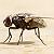 La mouche Zezette