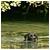 mangrove rat