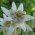Alpenblumen / Alpine flowers