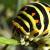 Chenilles et papillons