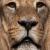 Lion / Leo / Löwen / Leone