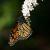 Papillon du Québec