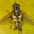British Hoverflies (Syrphidae)