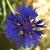 Kornblumenblau (cornflower, bleu, azul violaceo, azzurro pervinca)