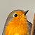 European Robin - Rougegorge