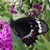 Australian Lepidoptera (Moths & Butterflies)