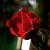 Τριαντάφυλλα-Roses-Rozoj