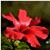 Hibiscus-Ibiskos-Ιbiskoj