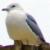 Gulls (Larinae)