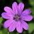 Flo.fam.Geraniaceae - géranium , pélargonium, érodium- Geranie , geranio