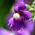 Flo.Fam. Scrophulariaceae- Plantaginaceae- Phrymaceae