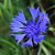 Flo. Fam.: Asteraceae