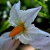 Flo.Fam. Solanaceae , plantes de la famille des Solanacées