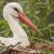 """ 100 % Storks  - Cigogne blanche """