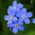 Flo. Fam.: Boraginaceae - famille de la bourrache