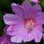 Flo. Fam.: Malvales , cistaceae , malvaceae - familles de la mauve et des cistes