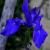 Iris, irises, schwertlilien, lirio  ...
