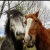 Draught horses / Draft horses