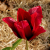 Tulipes ♥